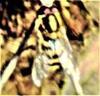 Große oder Gartenschwebfliege(Syrphus ribesii(L. 1758))