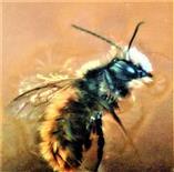 Gehörnte Mauerbiene(Osmia cornuta(Latreille 1805))(männlich)