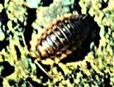 Mauerassel(Oniscus asellus(L. 1758))
