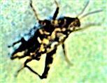 Nymphe einer Ödlandschrecke(Oedipoda germanica(Latreille 1804))