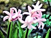 Gartenhyazinthe(Hyacinthus orientalis(L.))