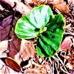Naturverjüngung Rotbuche(Fagus sylvatica(L.))