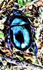 Waldmistkäfer(Anoploturpes stercorosus(Scriba 1791))