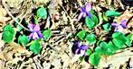 Wald.Veilchen(Viola reichenbachiana(Boreau))