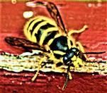 Gemeine Wespe(Vespula vulgaris(L. 1758)) Arbeiterin