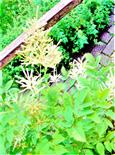 Wald-Geißbart(Aruncus dioicus(Walter)Fernald)