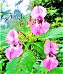 Blüten eines Drüsigen Springkrautes(Impatiens glandulifera(L.))