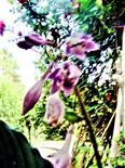 Glocken-Funkie(Hosta ventricosa(Stearn))