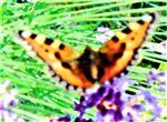Kleiner Fuchs(Aglais uticae(L. 1758)) an Echtem Lavendel(Lavendula angustifolia(L.))