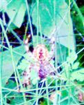 Unterseite der Gartenkreuzspinne(Araneus diadematus(Clerck 1757))