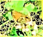 Kleiner Heufalter(Coenonympha pamphilus(L.))