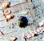 Gemeiner Zwergprachtkäfer(Trachys minutus(L. 1758))