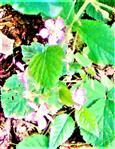 Brombeerblüte(Rubus fruticosus(L.)) am Waldrand