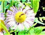 Schmalbauchwespe(Gasteruption jaculator(L. 1758)) beim Blütenbesuch