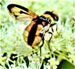 Breitflügelige Raupenfliege(Ectophasia crassipennis(Fabricius 1794))