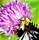 Bebänderter Pinselkäfer(Trichius fasciatus(L. 1758)) an einer Gewöhnlichen Kratzdistelblüte(Cirsium vulgare(L.))