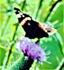 Admiral(Vanessa atalanta(L. 1758)) auf einer Blüte einer Gewöhnlichen Kratzdistel(Cirsium vulgare(L.))
