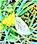 Rapsweißling(Pieris napi(L. 1758)) beim Blütenbesuch