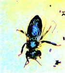 Ermattete und durchnässte Westliche Honigbiene(Apis mellifera(L. 1758))