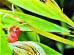 Beeren eines Maiglöckchens(Convalaria majalis(L.))
