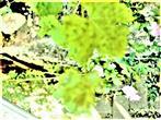 Befall einer Weinrebe(Vitis vinifera(L.)) durch Rebenpockenmilben(Colomerus vitis(Pagenstecher 1857))