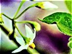 Schwarzer Nachtschatten(Solanum nigrum(L.))