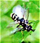 Vierstreifige (bzw. Gelbfuß-Wespen-)Dickkopffliege(Conops quadrifasciatus(De Geer 1776)) in Kopulation
