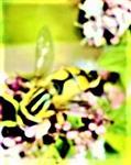 Großs Sumpfschwebfliege(Heliophilus trivittatus(Fabricius 1805))