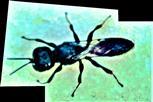Grabwespe Crossocerus cetratus(Shuckard 1837))