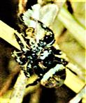 Springspinne (Heliophanus) am waldrand