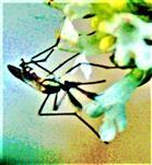 Männliche Stechmücke(Culex pipiens(L. 1758)) beim Blütenbesuch