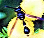 Töpferwespe(Eumenes coronatus(Panzer 1799)) beim Blütenbesuch