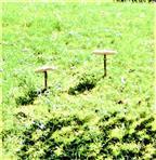 Gemeiner Riesenschirmling, Parasol(Macrolepiota procera(Scop. ; Fr.)Singer)