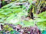 Algenbesiedlung auf Schiefergestein