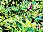 Blühender Japanischer Staudenknöterich(Fallopia japonica(Houtt.)Ronse Decr.)