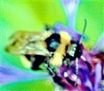 Gartenhummel(Bombus hortorum(L. 1761)) beim Blütenbesuch