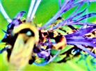 Gartenhummel(Bombus hortorum(L. 1761)) sowie Gemeiner Ohrwurm(Forficula auricularia(L. 1758)) als Blütenbesucher