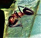 Arbeiterin der Roten Waldameise(Formica rufa(L. 1761)) beim Überwältigen einer Dungmücke(Scatopsidae)