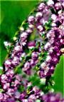 Besenheide(Calluna vulgaris(L.)Hull) blühend