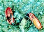 Gemeine Feuerwanze(Pyrrhocoris apterus(L. 1758)) an Organischem saugend