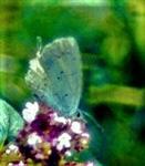 Faulbaum-Bläuling(Celastrina argiolus(L. 1758)) beim Blütenbesuch auf Origano(Origanum vulgare(L.))