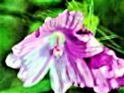 Rosenmalve(Alcea rosea(L.))