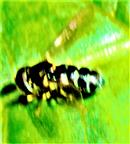 Pilz-Schwebfliege(Cheilosia scutellata(Falle´n 1817))