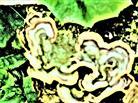 Schmetterlings-Tramete(Trametes versicolor(L. : Fr.)LLOYD)
