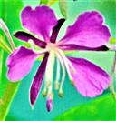 Blüte des Schmalblättrigen Weidenröschens(Epilobium angustifolium(L.)Holub)