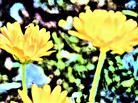 Blüten von Ringelblumen(Calendula officinalis(L.))