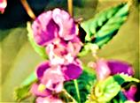 Blüte des Drüsigen Springkrautes(Impatiens glandulifera(L.))
