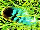 Feder eines Mäusebussards(Buteo buteo(L.))