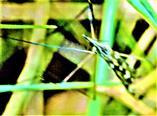 Schnake(Tipula confusa(Van  der Wulp 1883))