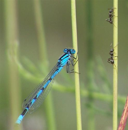 Blaue Federlibelle (Platycnemis pennipes),